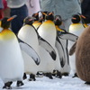 おっさんペンギンの散歩