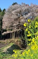 「さくらの街」の山桜③