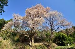 「さくらの街」の山桜①