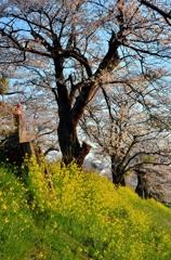 「さくらの街」の桜並木④