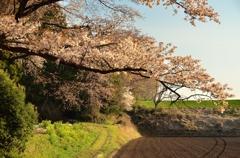 「さくらの街」の山桜②