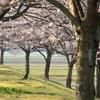 日本の国鳥③桜花を愛でるのは人だけではない