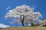 沓掛峠の桜③