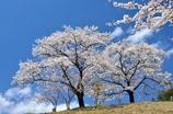沓掛峠の桜④