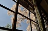 なつかしの学び舎 上岡小学校⑧晴れ渡る窓の外を覆うは桜の花