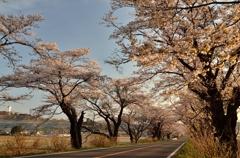 「さくらの街」の桜並木③