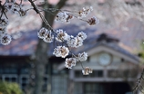 なつかしの学び舎 上岡小学校⑨学び舎を桜色に染めて