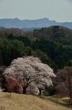 沓掛峠の桜①