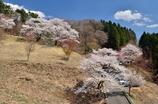 沓掛峠の桜②