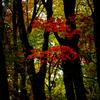 林中に光る紅葉