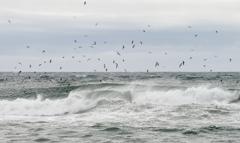 カモメ荒波に飛ぶ 2