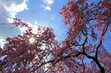 春の光と枝垂れ桜と。。。