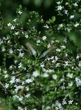 アオスジアゲハの羽ばたき
