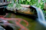 水辺で遊ぶ鯉