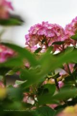 教室前の紫陽花