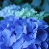 台風明けの紫陽花