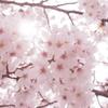 恩田川の桜2014 その3