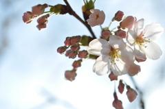 桜のある生活
