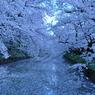 春、雪のごとく
