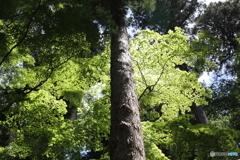 杉と青もみじ
