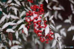 冬のナンテン