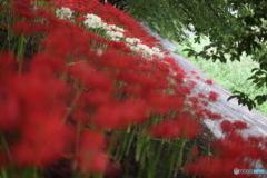 赤と白のヒガンバナ