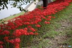 乙川河畔の彼岸花