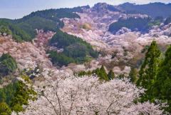 吉野山 上千本