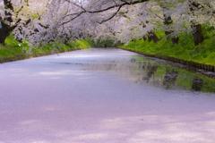 桜色の誘惑
