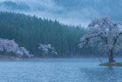朝霧の桜湖