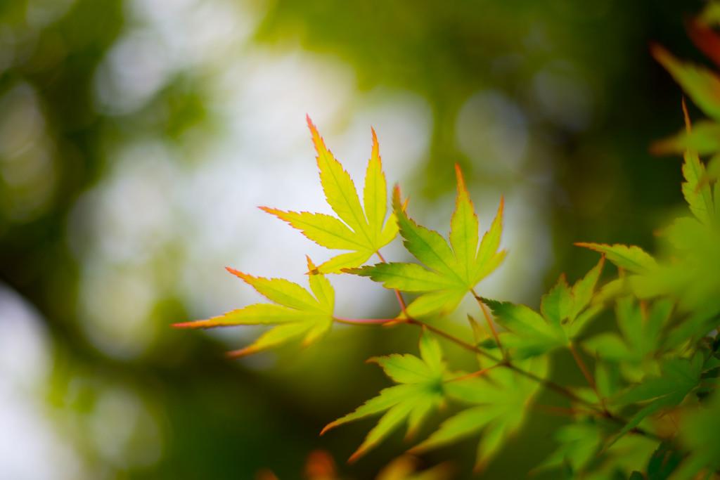 山紅葉 ~春~