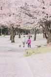 朝の散歩 ~桜路~