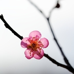 NIKON NIKON D700で撮影した植物(梅一輪、心に咲いてくれました)の写真(画像)