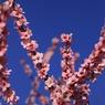 CANON Canon EOS 7Dで撮影した植物(青空に咲く桃)の写真(画像)