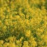 CANON Canon EOS 7Dで撮影した植物(黄色い光)の写真(画像)