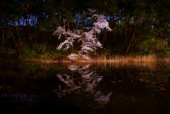 暗闇の桜2