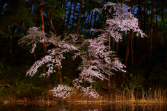暗闇の桜1