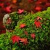 苔とたわむる紅葉かな