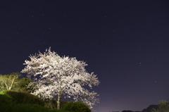 夜桜 ソメイヨシノ 2