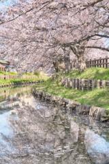 桜道を描く