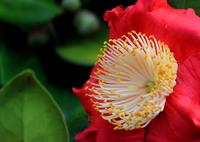CANON Canon EOS 7Dで撮影した(Tubaki)の写真(画像)