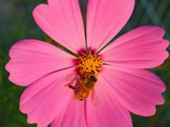 飛んで花に居る秋の蜂