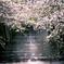 朝陽を受け、葉桜となりしも美しく