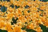 黄色い美の競演