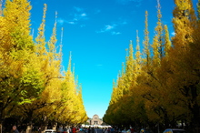 日本一の銀杏並木