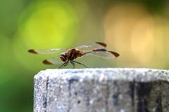 ― 秋 ・赤蜻蛉(2) ―