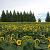 向日葵の花畑