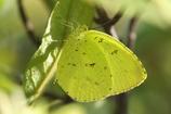 初冬の昆虫達 キタキチョウ