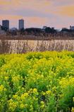 菜の花畑と夕刻の手賀沼