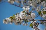 満開の早咲き桜
